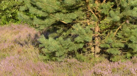 pinus : Scots pine (Pinus sylvestris) and common heather (Calluna vulgaris)