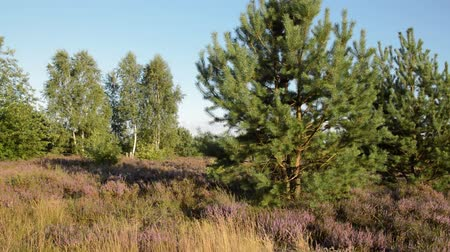 pinus : Scots pine (Pinus sylvestris), common heather (Calluna vulgaris) and birches (Betula), Schoenower Heide Nature Reserve, Germany