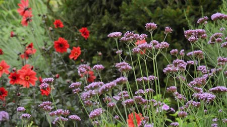 compositae : Purpletop vervain (Verbena bonariensis) and dahlias (Dahlia)