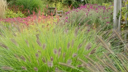 compositae : Dwarf fountain grass (Pennisetum alopecuroides syn. Pennisetum compressum) and asters (Aster)