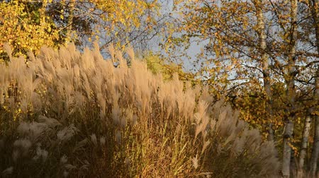 fall down : Chinese silver grass (Miscanthus sinensis) and birches (Betula)