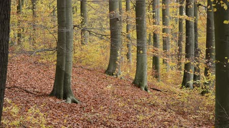 fall down : Common beeches (Fagus sylvatica) in Grumsin Beech Forest, Biosphere Reserve Schorfheide-Chorin, Germany