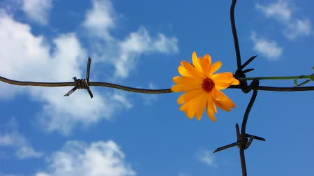 interdiction : The Flower and barbed wire.