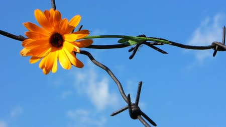 farpado : The Flower and barbed wire.