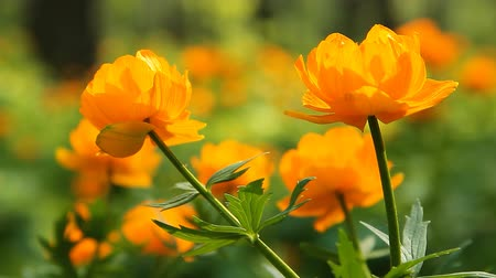 ventoso : Green grass, orange buttercups and other wild flowers in on a perfect summer day. Stock Footage