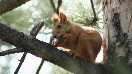 белка : Squirrel sitting on the spruce tree branch and eating cone. Стоковые видеозаписи
