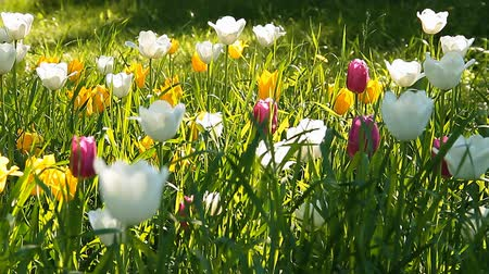 ventoso : Beautiful Red, Yellow and White Tulips Stock Footage
