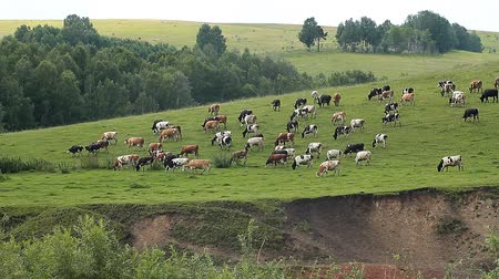 dairy animal : The Cows on pasture.