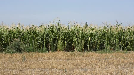 milharal : Closeup on corn field with plants and fruits.