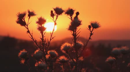 prickly : Wild flower or thistle moving in the breeze at sunset.