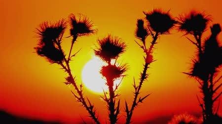 devedikeni : Wild flower or thistle moving in the breeze at sunset.