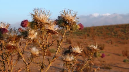 devedikeni : Thistle growing on mountains landscape.