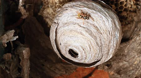 filigrana : Wasps building a nest.