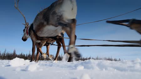 savci : A reindeers in a winter scenery. Reindeer race.