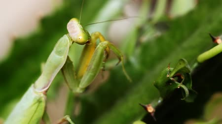 kriket : Mantis on Green Leaf
