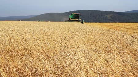 pszenica : Harvester On Wheat Field