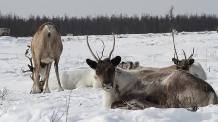stádo : Winter. Reindeer Group on Pastures.