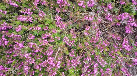 wrzos : pink heather in the close up view