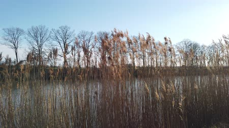 kamış : Reeds on the shore with a blue sky