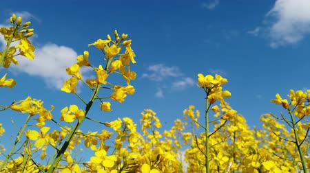 rape oil : Yellow rape seed field in spring with a bright blue sky Stock Footage