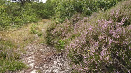 motyl : Pink heather landscape with a forest Wideo
