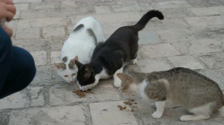 заботливый : Three shorthair cats eat dry food outdoors in summer day. Adult pussycat.