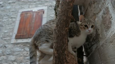climbed : The domestic cat climbed the tree in the town. Its fur is two-colored such as white and grey color. It has green eyes. Animal sits alone on the branch without greens. Beautiful mammal looks over in different sides and can t get down. Its fur is clean and