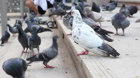rock dove : Rock Pigeon are eating