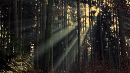 zálesí : sunbeams in the fogy woodland