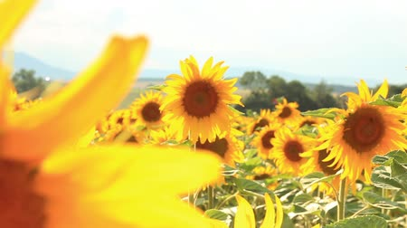 girassóis : Sunflower fields
