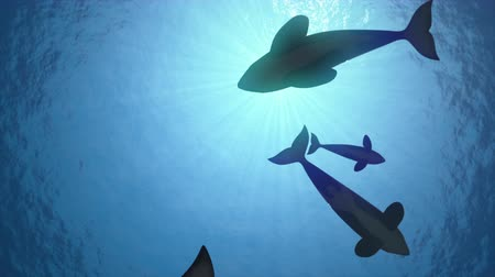 killer whale : Underwater shot of a pod of killer whales (orcas orcinus) circling the sun in blue ocean - seamless looping high quality 3d animation