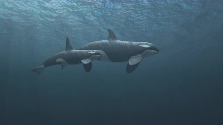 scuba diving : Underwater shot of mother and calf killer whales (orcas orcinus) swimming passed the camera in deep blue ocean - high quality 3d animation