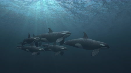 Underwater shot of a small pod of killer whales (orcas orcinus) swimming passed the camera in deep blue ocean - high quality 3d animation