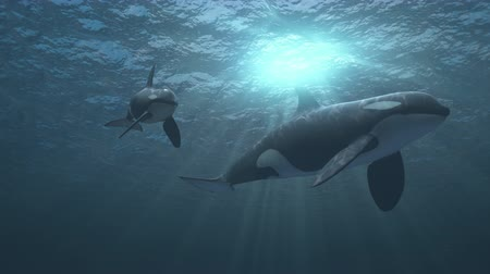 Underwater shot of mother and calf killer whales (orcas orcinus) swimming towards and then passed the camera in deep blue ocean - high quality 3d animation Stock Footage