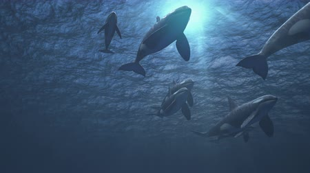 Underwater shot of a small pod of killer whales (orcas orcinus) swimming towards and passed the camera in deep blue ocean - high quality 3d animation