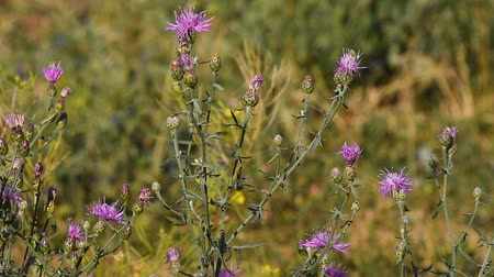 devedikeni : Pink thistle flowers in the wind tremble in the wind under sunshine