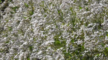 gypsophila : Gypsophila paniculata common, small white flowers bush, also known as tumbleweed or baby's breath, trembling, shaking in the wind, selective focus