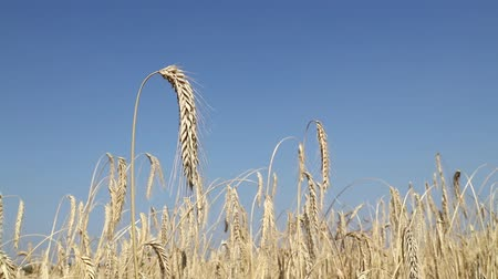 tüskék : One mature wheat ear spike full of ripe grain over shaking in the wind the field under clear blue sky, close up