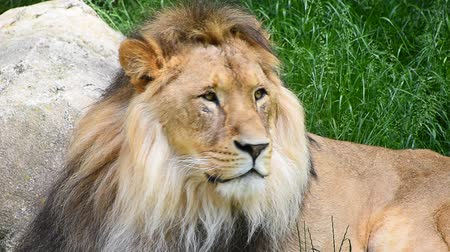 aslan : Close up portrait of one male lion turning head and looking at camera over background of green grass and rocks, low angle view Stok Video