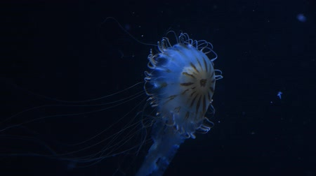 pulsate : Close up of one jellyfish swimming in aquarium water in blue light over dark background, low angle view