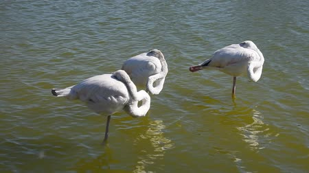 animal behavior : Three white flamingos standing in rippled water