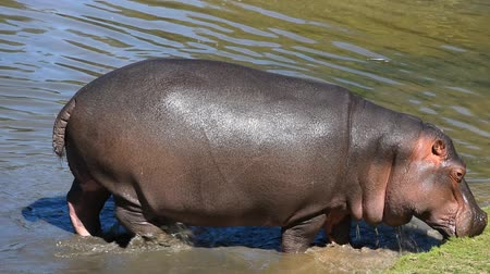 hippo : Close up one hippo walking getting out of water to grass river bank sunny day, close up, high angle view