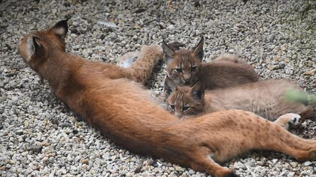 sucking : Mother Eurasian lynx nursing feeding two young baby kittens, close up, high angle view