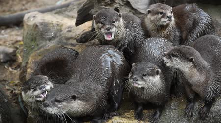 крики : Several river otters run and scream on rocks Стоковые видеозаписи