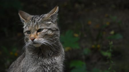 gato selvagem : Close up side profile portrait of one European wildcat (Felis silvestris) looking away and turning head alerted, low angle view