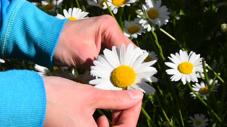 camomila : High angle view close up of young woman hands pick off and rip out petals of chamomile flower in French game called He loves me, he loves me not, sunny day