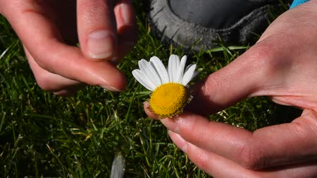 pulling off : High angle view close up of young woman hands pick off and rip out petals of chamomile flower in French game called He loves me, he loves me not, sunny day