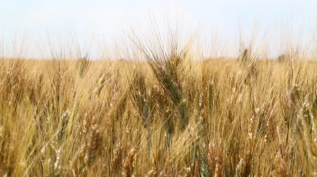 shaking wind : Close up wield of ripe mature wheat full ears spikes shaking in the wind under clear white sky, low angle view