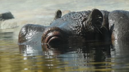 hippo : Close up portrait of one hippopotamus swimming in water, extreme close up, low angle view Stock Footage