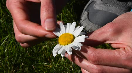 pull out : High angle view close up of young woman hands pick off and rip out petals of chamomile flower in French game called He loves me, he loves me not, sunny day